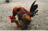 جفت گیری خروس با مرغ