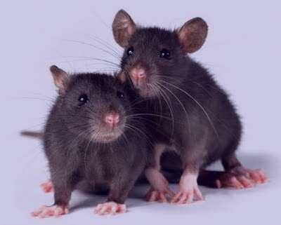 """""""تعبیر خواب موش"""" موش سیاه سفید کوچک و بزرگ"""