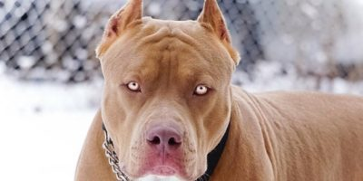 جنگ نفس گیر سگ پیت بول با آلابای