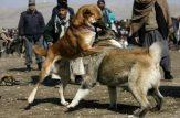 جنگ سگ های قلدر ایرانی