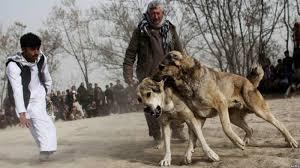 جنگ سگ افغان