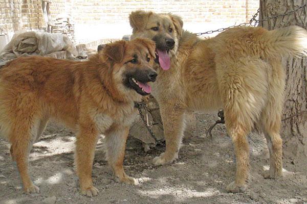 sarabi-dog1