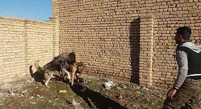 جنگ خونین و وحشیانه سگ سرابی با سگ خرسی ( قفقازی )