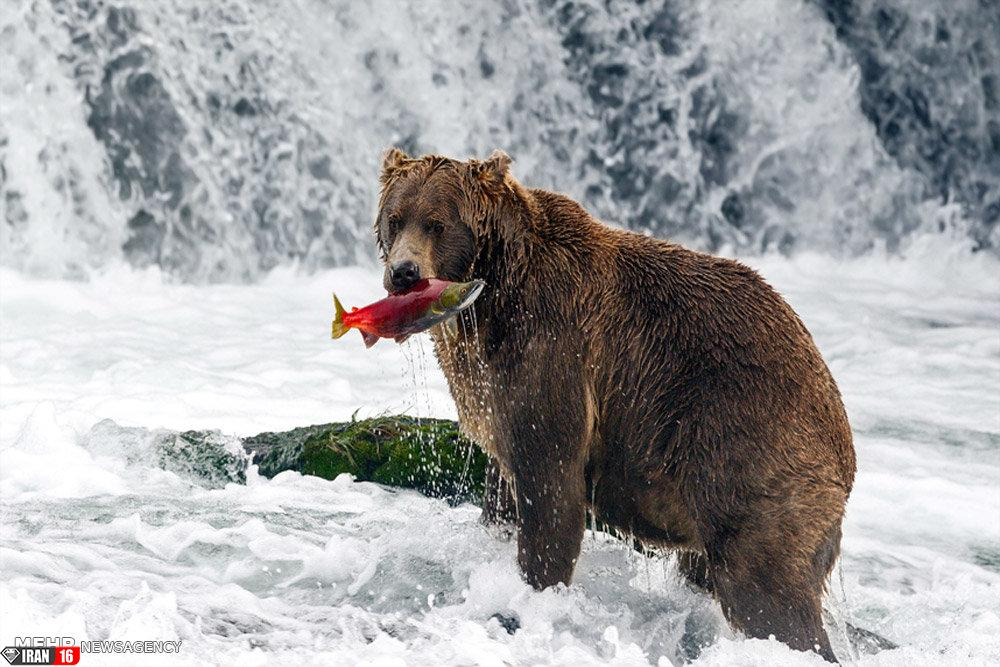 حیات وحش آلاسکا
