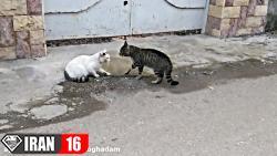 دعوای خنده دار و جالب دو گربه ی چالوسی