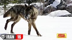شکار لحظه از شکار حیوانات وحشی