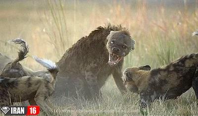 شکار های لحظه ای از حیوانات وحشی