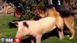 فیلم جفت گیري سگ و خوک
