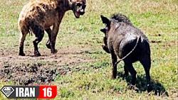مبارزه ترسناک و دردناک حیوانات در حیات وحش