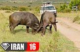 نبرد خونین حیوانات نر در فصل جفت گیری در حیات وحش