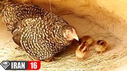 نجات جوجه های مرغ ازدست مار پیتون