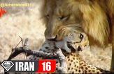 وقتی یوزپلنگ , شکار شیر می شود !!