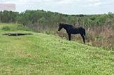 جدال نادر مرگ و زندگی اسب و کروکودیل غول پیکر