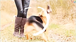 بهترین سگ های چوپان نژاد ژرمن شپرد