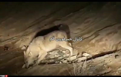 گرگ های گرسنه در شهرک مهدیه قم