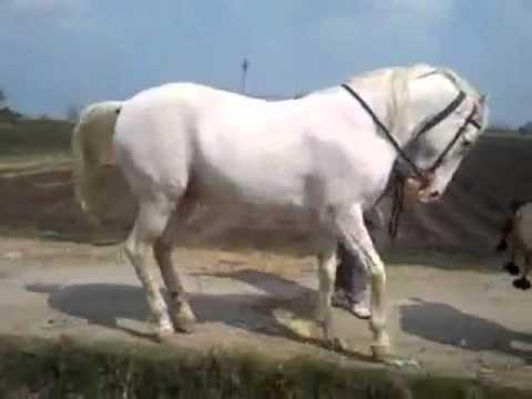 رقص اسب اصیل ایرانی سفید سیاه