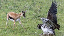 آزادی بچه آهو از چنگال عقاب (1)