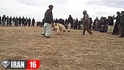 جنگ انداختن دو سگ وحشی