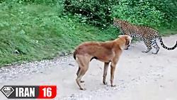 جنگ و نبرد پلنگ با سگ وحشی