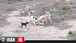 جنگ و نبرد گروهی از سگ های وحشی با یک گرگ
