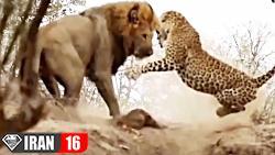 نبردهای حیوانات غول پیکر در حیات وحش