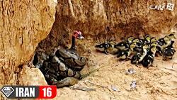 نجات اردک از دست مار