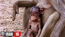 نجات بچه بابون میمون توسط مادر از چنگال کروکودیل