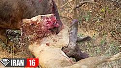 10 نبرد تا مرگ حیوانات در حیات وحش