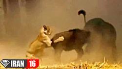 6 شیر و 4 کفتار به دنبال شکار یک بوفالو