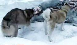 فیلم کوتاه دیدنی از گرگ ها | تصاویر خیره کننده از حیات وحش