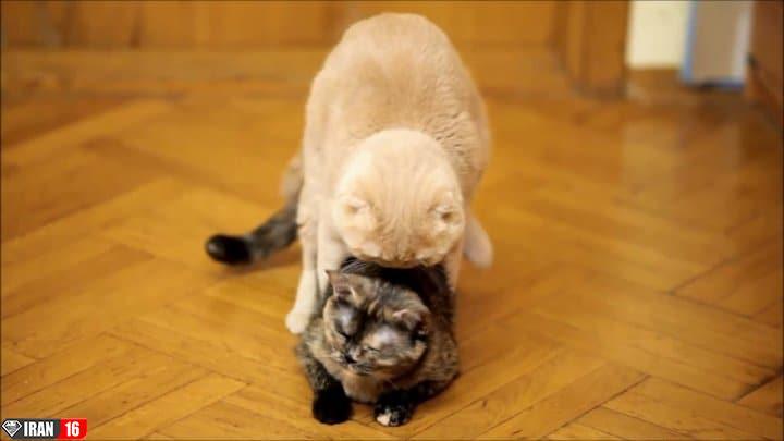دانلود-فیلم-جفت-گیری-گربه-