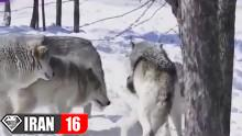گرگها هنگام جفتگيري️️️