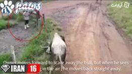محافظت سگها از صاحبشان در برابر حمله گاو وحشی