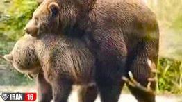 bear-sex