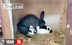 جفتگیری خنده دار خرگوش