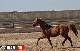 جفت گیری اسب سیلمی با اسب ماده ایرانی
