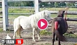 جفت گیری اسب های کوتوله یا همان اسب پونی