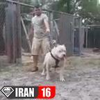 سگ پيتبول وحشي