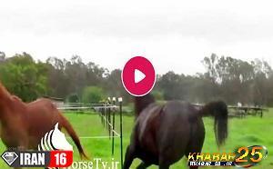کشش و جفت گیری اسب در مزرعه پرورش اسب