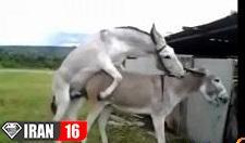 جفتگيري خر با اسب