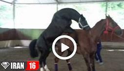 جفت گیری اسب مسابقه ای در مزرعه اسب سواری / فیلم کشش اسب