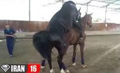 جفت گیری اسب مسابقه ای