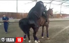 فیلم کامل از کشش اسب مسابقه ای + جفت گیری اسب مسابقه ای