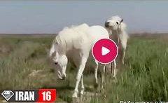 حرکات عجیب و موزون اسب های در فصل جفت گیری حیوانات + فیلم