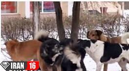 دعوای سگ های ولگرد برای جفت گیری با سگ ماده در زمستان + فیلم