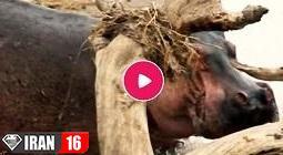 شکار اسب آبی و جدال با شیرها بر سر طعمه توسط کروکودیل ها + فیلم