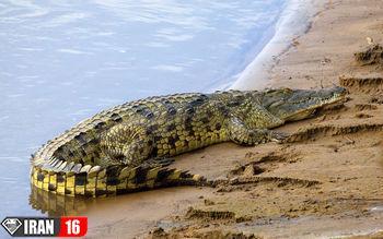 غول پیکر ترین تمساح تاریخ