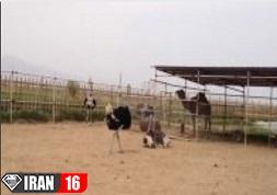 فیلم جفت گیری شترمرغ نر با شترمرغ ماده در مزرعه پرورش شترمرغ