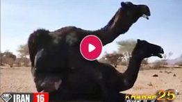 فیلم جفت گیری شتر نر با شتر ماده در بیابان تولید مثل و آمیزش شترها