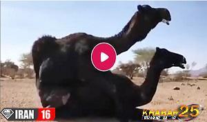 فیلم جفت گیری شتر نر با شتر ماده در بیابان / تولید مثل و آمیزش شترها